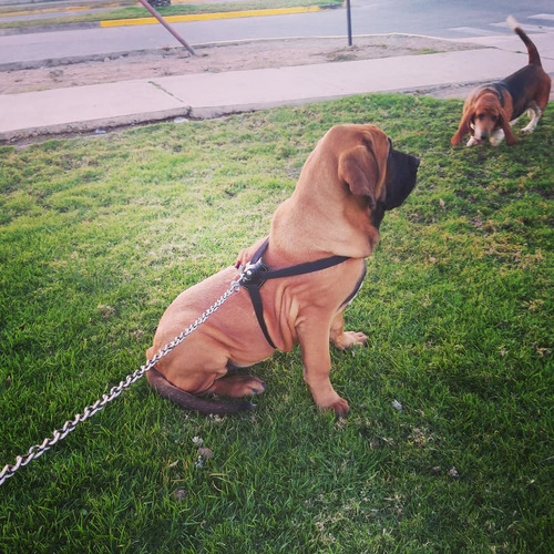 cachorros fila brasileiro
