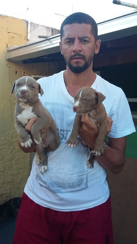 cachorros filhotes pit bull terrier