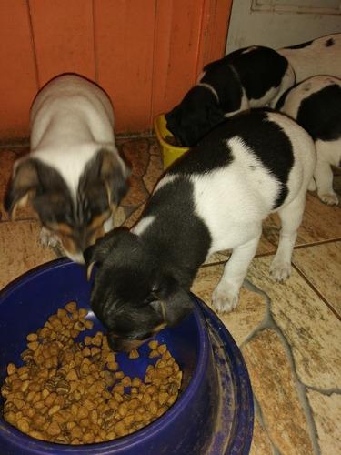 cachorros fox terrier chileno
