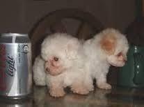 cachorros french minitoy tasita de te