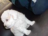 cachorros french poodle minitoy tasita de te