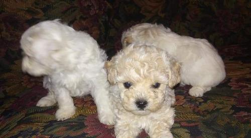 cachorros french poodle minitoy tasita de té