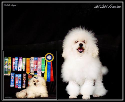 cachorros frensch poodle toy mini de cartera 17 cm