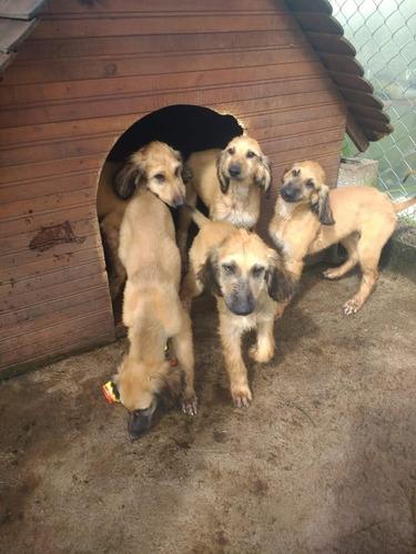 cachorros galgo afgano