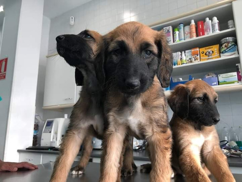 cachorros galgo afgano, padres importados full pedigri
