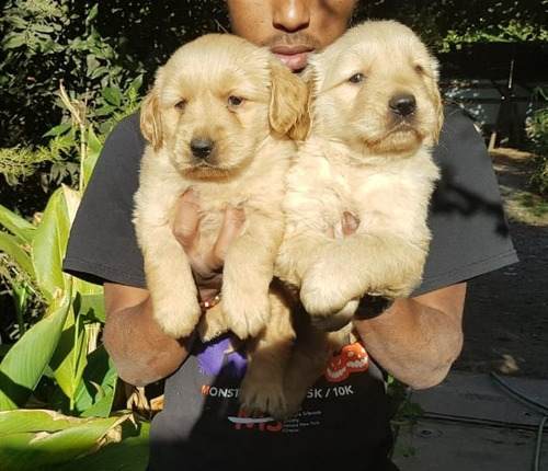 cachorros golden paddres ch.