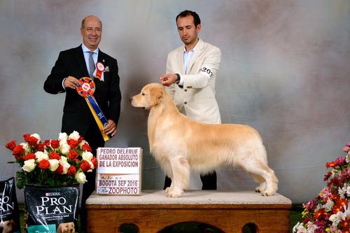 cachorros golden retriever con pedigree hijos de campeones