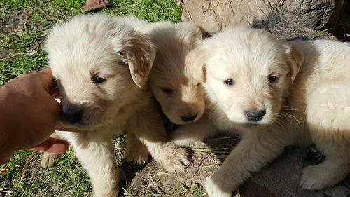cachorros golden retriever puros de el mejor criadero rural.