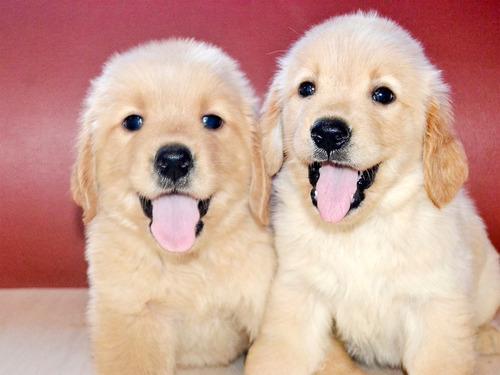 cachorros golden retriever raza pura vacunados
