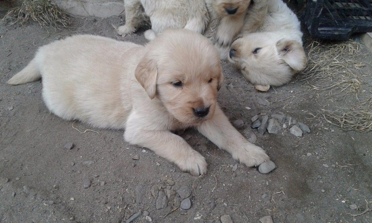 Cachorros Golden Retriver En Mercado Libre