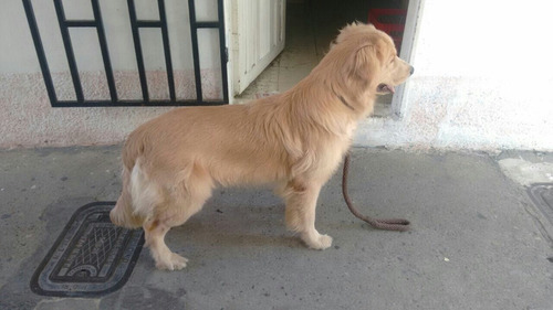cachorros golden retriver