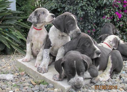 cachorros gran danes 100% puros