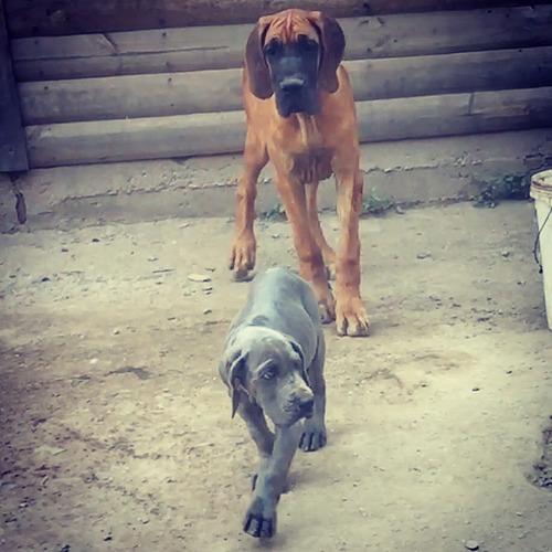 cachorros gran danes azul 100%europeos