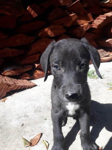 cachorros guaymaraner cruza con mestizo