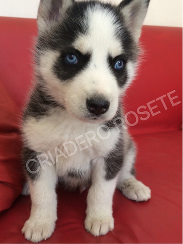 cachorros husky con pedigree internacional