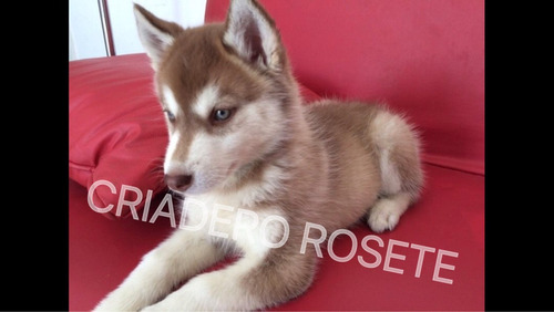 cachorros  husky siberiano de 2 meses de edad