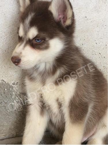 cachorros husky siberiano   rosete