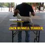 Jack Russell Altisima Calidad Padre Importado España