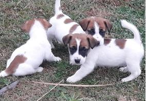 Nano De Pelo Corto Perros De Raza En Bsas Gba Norte