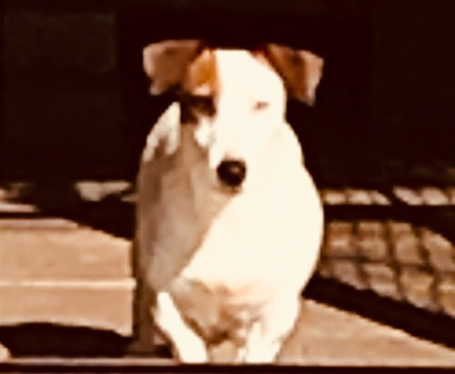 cachorros jack russell terrier