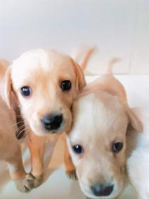 Cachorro Labrador Golden Perros En Mercado Libre Argentina