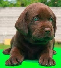 cachorros labrador retriever chocolate