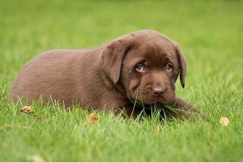 cachorros labradores chocolates