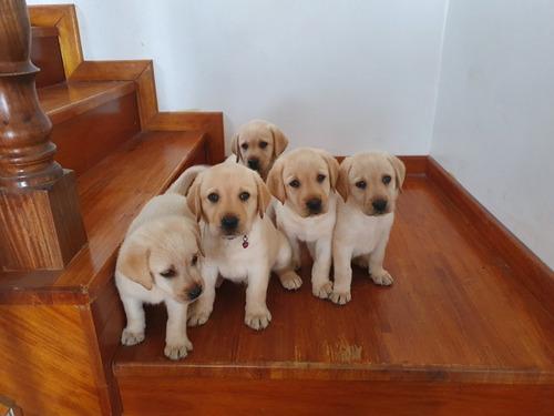 cachorros labradores  retriever