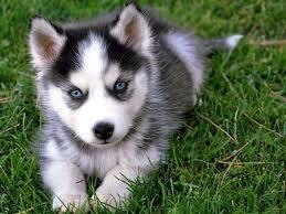 Cachorros Lobo Siberiano De Raza Pura 700000 En Mercado Libre