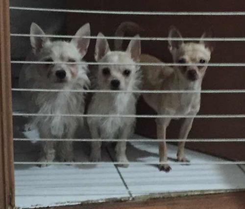 cachorros machos mestizos chihuahua con westy