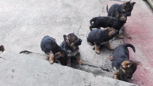 cachorros pastor aleman de belleza