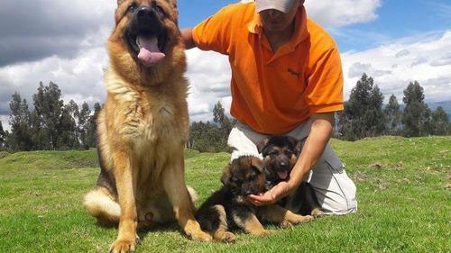 cachorros pastor alemán envios a nivel nacional