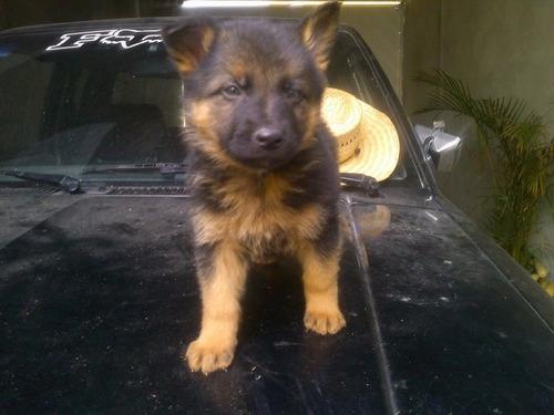 cachorros pastor alemán. garantía de raza