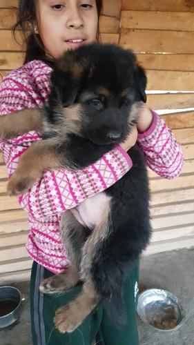 cachorros pastor aleman inscritos