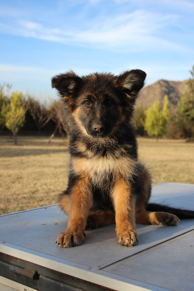 Cachorros Pastor Aleman Inscritos - $ 290.000 en Mercado Libre