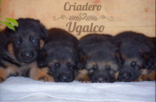 cachorros pastor alemán pedigree internacional fcm