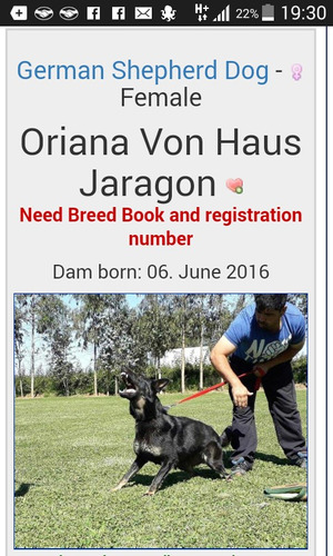 cachorros pastor aleman sables crias de seleccion