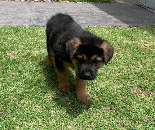 cachorros pastor alemán, vacunados y desparasitados