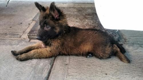 cachorros pastor belga