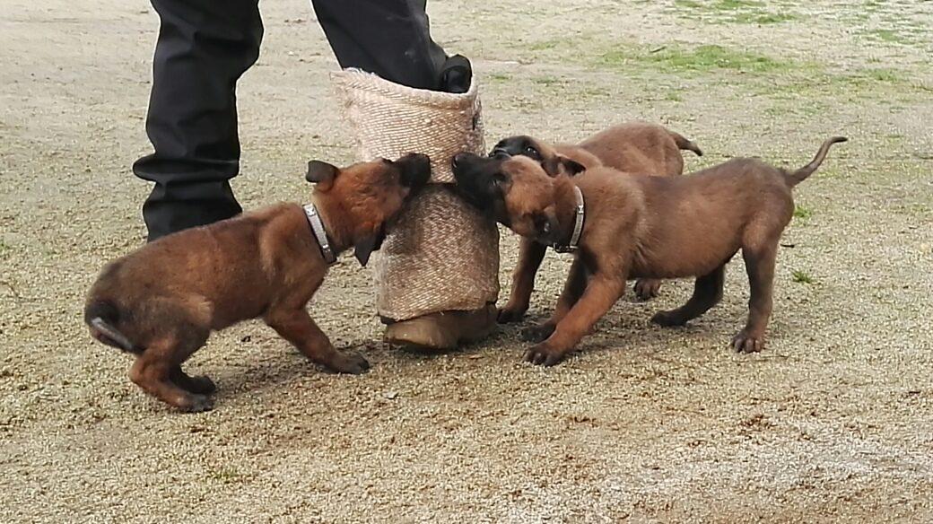 Fotos cachorro pastor belga malinois 33