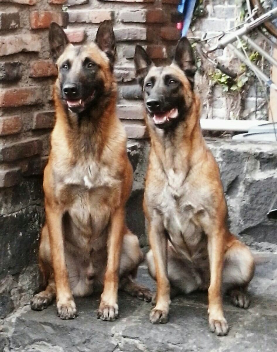 Fotos cachorro pastor belga malinois 47