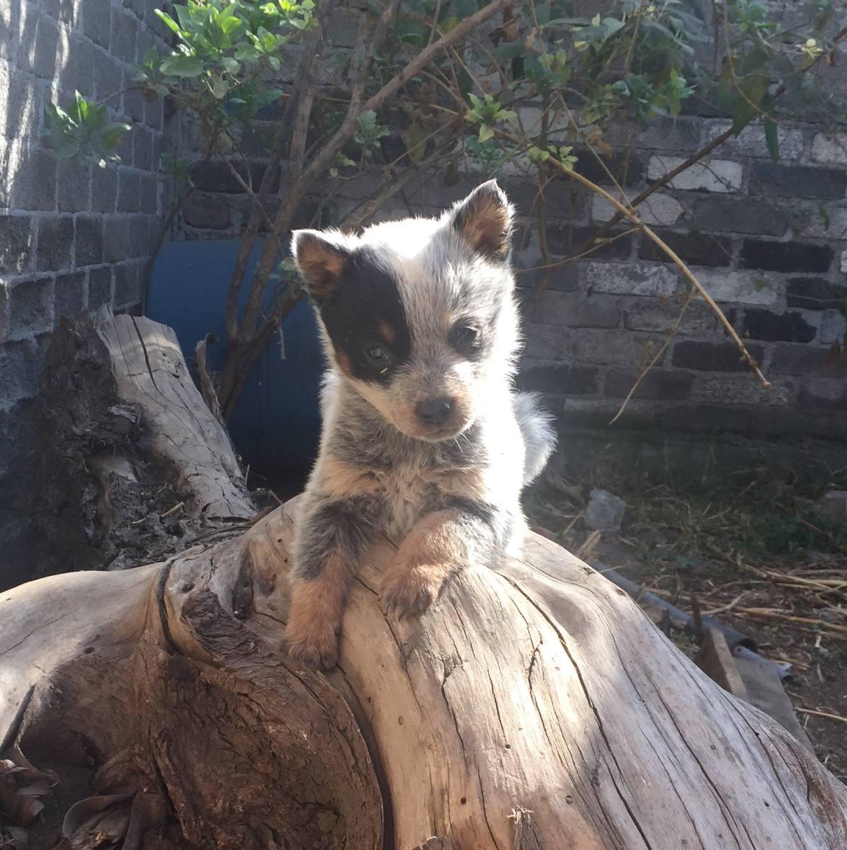 cachorros pastor ganadero australiano blue heeler