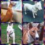 Se Vende Cachorros Bull Terrier Ingles 100% Puros