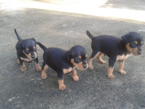 cachorros pincher mini