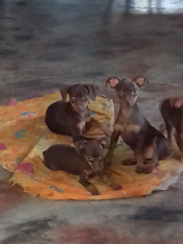 cachorros pinscher marrón chocolate