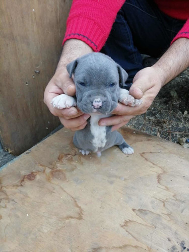 cachorros pitbull american blue