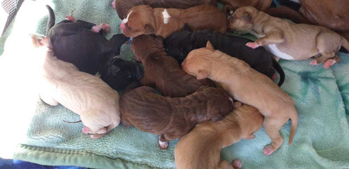 cachorros pitbull american terrier