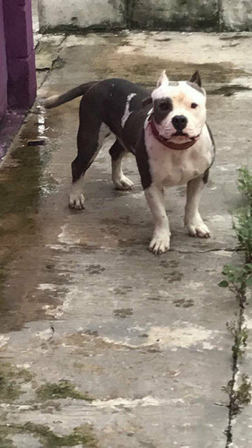 cachorros pitbull blue