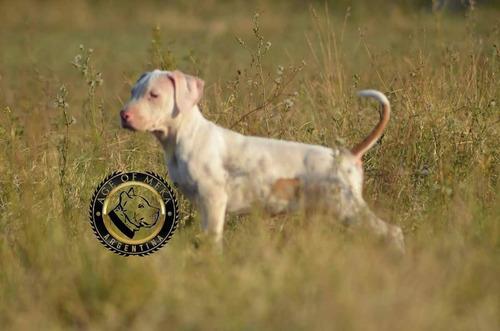 cachorros pitbull blue fawn macho pr ukc age of meka mascota