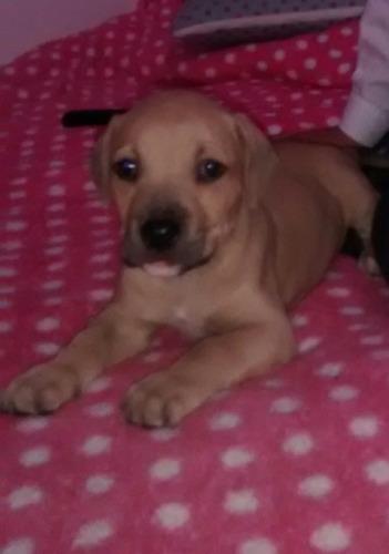 cachorros pitbull stanford 43 dias de nacimiento
